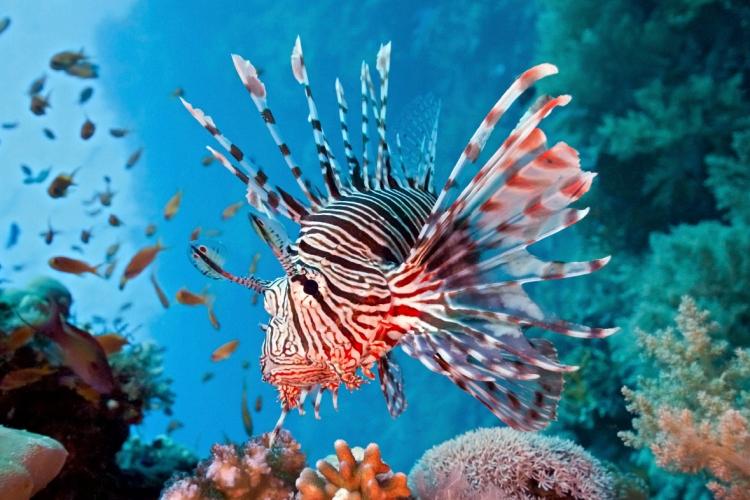 lionfish_iStock_000011368773_Medium