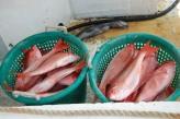ga fish